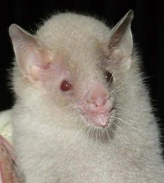 An extremely rare and fascinating find, this is an albino Geoffroy's Hairy-legged Bat (Anoura geoffroyi). This species feeds on fruit, nectar, pollen, and insects, and provides efficient seed dispersal and pollinating services for several tree species in Trinidad.