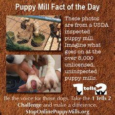 This is a USDA licensed kennel. And since there are only enough inspectors to visit maybe once a year. it will be along time before anyone checks on these dogs again. Fact Of The Day, Puppy Mills, My Heart Is Breaking, The Fosters, Challenges, Facts, Puppies, Amish, Dogs
