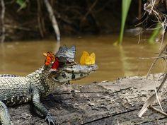 Jacaré-do-pantanal parece sorrir ao ser clicado com coroa de borboletas