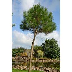 Pinus pinea - Parasolden - Pijnboom - Palma Verde Exoten