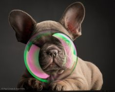 French Bulldog Puppy in a Bubble, photo by Paul Croes.
