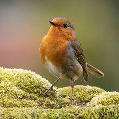 Petirrojo (European robin) - null