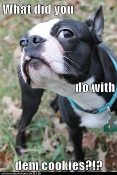 Funny Boston Terrier | Hotdog - boston terrier, Cute Puppies - funny ...