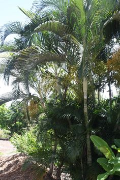 An Areca plant at Hawaiian Electric's Arbor Day event.