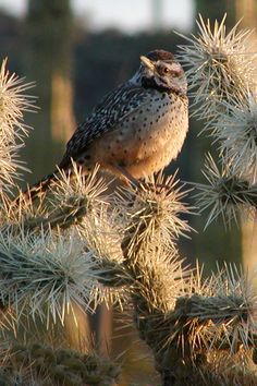 Cactus Wren is the offical state bird of the southwestern desert of Arizona, United States. Pretty Birds, Love Birds, Beautiful Birds, Desert Life, Desert Art, Desert Animals, State Birds, Backyard Birds, Exotic Birds