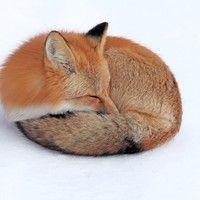 FoX Snow Down Curl Up Sleep, photos - HDStockPhoto.com
