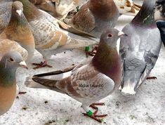 Pigeon Loft Design, Homing Pigeons, Funny Images, Pet Birds, Wings, Racing, Animals, Pigeon, Animais