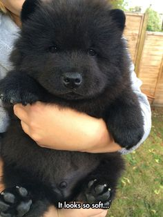 """""""Yesh I am very cute, you should put your head in my mouth. NOMNOMNOM"""" Chow Chows man."""