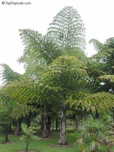 Caryota gigas, Thai Mountain Giant