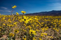 superbloom of death valley for facebook | Death Valley Superbloom | ...See Peter Tellone - Photographer - Fine ...