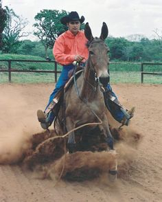 Big Belgian Mules For Sale Scooby Mule For Sale At