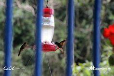 El vuelo del colibrí en la Reserva Natural de Río Blanco en Manizales, Colombia