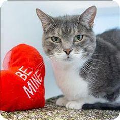 Fur Everywhere: Gilligan Needs a New Forever Home: Opt to Adopt #AdoptableCats #cats #Denver