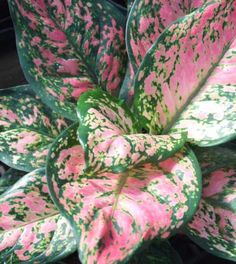 Valentine AGLAONEMA  low light houseplant pink/white/green veined