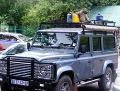 This baboon must be a Landy fan. You can check out Mike Von Dresselt pic in the April issue of SA4x4.