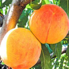 Piersic Big Honey in GradinaMax Fruit, Beautiful, Honey, Plant, Lawn And Garden