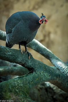 Helmeted Guineafowl-the best known of the guineafowl bird family, Numididae, and the only member of the genus Numida. It breeds in Africa, mainly south of the Sahara, and has been widely introduced into the West Indies, Brazil, Australia and southern France.