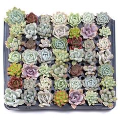 Assortment of 49 Echeveria soft succulent plugs chosen for color, texture, and variety. Drought tolerant, but will not tolerate frost. Black Succulents, Succulents For Sale, Pink Succulent, Colorful Succulents, Planting Succulents, Succulent Potting Mix, Wholesale Succulents, Saintpaulia, Hens And Chicks