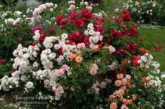 как сочетать розы по цвету в розарии фото: 18 тыс изображений найдено в Яндекс.Картинках