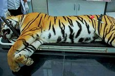 Tigress Avni, shot dead for hunting people, had not eaten for days: Necropsy report - Successful India Had, Live News