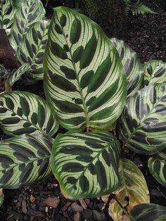 Calathea makoyana leaves by Stickpen