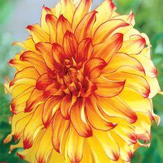Perennial Passion: Trebbiano Dahlia from Breck\'s | Wizardry Garden ...