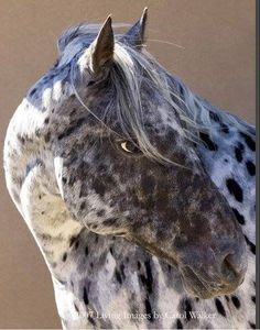 Leopard Appaloosa More