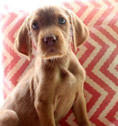 Daphne ~ Wirehaired Vizsla Pup ~ Classic Look ~  Vizcaya's Vizslas