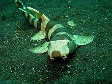 Brownbanded bamboo shark - Wikipedia, the free encyclopedia
