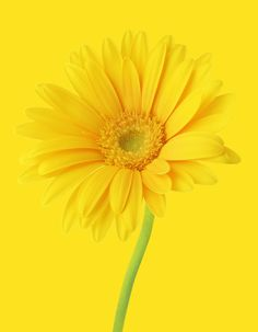 Pin by keena proctor on because im happy yellow pinterest receding colour this bright yellow flower is an interesting example of a receding colour mightylinksfo