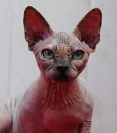Sphynx kittens for sale, NADA Sphynx, Devon Rex, Lykoi, Cats sphynx, sphinx, esfinge, sphynx cats for sale, hairless cats for sale, sphynx kittens, sphynx breeders, sphynx for sale, sphynx kittens for sale, sphynx cat breeders, hairless cat breeders, hairless cat adoption, sphynx cat adoption, buy hairless cat, sphynx Florida, sphynx ontario, canadian sphynx, curly coated, werewolf Spring Hill, FL Sphynx Girls