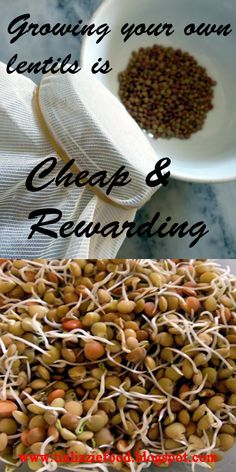 Growing your own sprouts is not only healthy and rewarding, but it is also very cheap and takes a mere few seconds of your time each day. My step-by-step guide will help you reap the benefits of growing brown or black lentils in the comfort of your kitchen.