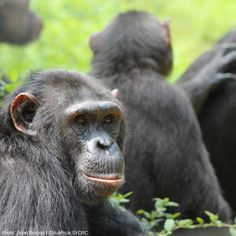 Generally, each chimp community does have an alpha male, considered the most powerful in the group. However, his success as alpha is usually dependent on the support of the females.