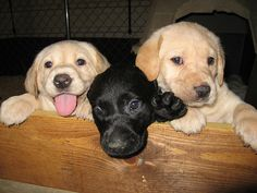 This is a great photo that I happened to get. These are the only two female yellow Labs and I think this was one of the female black Labs. Premium Pet Coverage! http://www.offers.couponrainbow.com/embrace-pet-insurance/