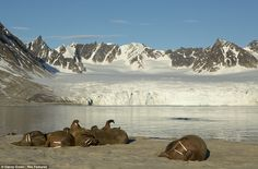 A Walrus colony laze by the icefields of Svalbard, in Norway. The animals are padded with blubber to provide them with plenty of warmth in the cold temperatures