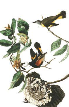 American Redstart | John James Audubon's Birds of America