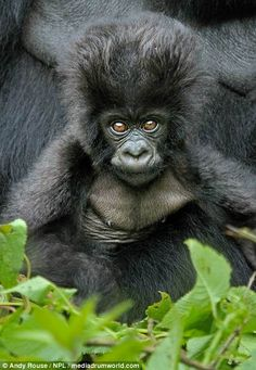 The young gorilla also rocked an impressive bouffant-like haircut, resembling an glam rockstar Source by myCloset_design Monkey Pictures, Animal Pictures, Primates, Nature Animals, Animals And Pets, Cute Baby Animals, Funny Animals, Gorilla Tattoo, Gorilla Gorilla
