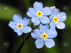 the blue forget me not flowers