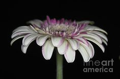 New print available on fineartamerica.com! - 'Pink And White Gerbera 4' by Steve Purnell - http://fineartamerica.com/featured/pink-and-white-gerbera-4-steve-purnell.html via @fineartamerica