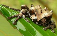 Crowned Tree Frog