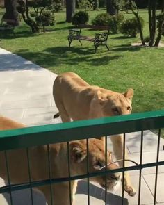 Seeing her two lioness friends after a long time apart Click here for more adorable animal pics!
