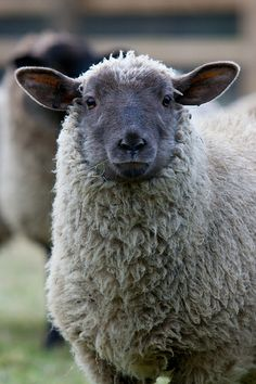 burning-soul: Rosie the lamb (Crush Cul de Sac) Farm Animals, Animals And Pets, Cute Animals, Alpacas, Beautiful Creatures, Animals Beautiful, Baa Baa Black Sheep, Photo Animaliere, Sheep And Lamb
