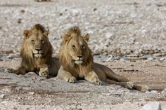 South Africa, Wildlife, Animals, Animales, Animaux, Animal, Animais