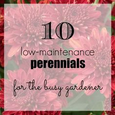 10 low-maintenance perennials for the busy gardener! You can still have beautiful flower beds without spending a lot of time maintaining them.