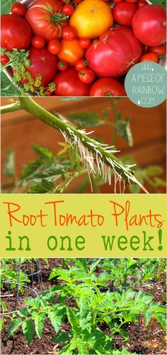 Fastest way to get lots of tomato plants: How To Root Tomato Cuttings In 1 Week - A Piece Of Rainbow