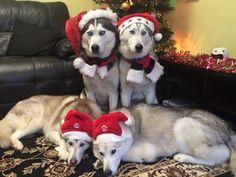 Merry Christmas from Karen Pawpack's Siberian Husky Pack! LOVE them!! ♡☆♡☆♡