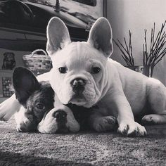 """My Brother makes an Awesome Pillow!"" French Bulldogs."