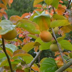 Japanese Persimmon Photos, Japanese, Apple, Fruit, Instagram, Food, Pavilion, Apple Fruit, Pictures