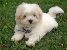 Maltés.  Maltese. Cachorro.  Dog.