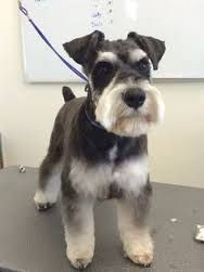 Image result for miniature schnauzer grooming cuts
